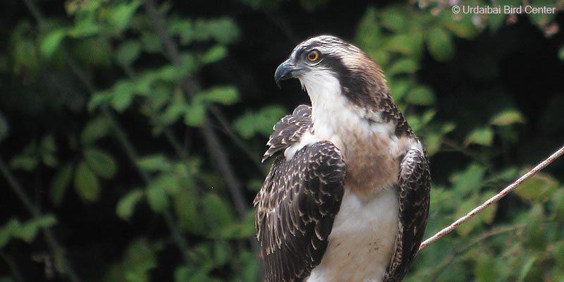 Regresa a Urdaibai (Bizkaia) la primera de las águilas pescadoras del año